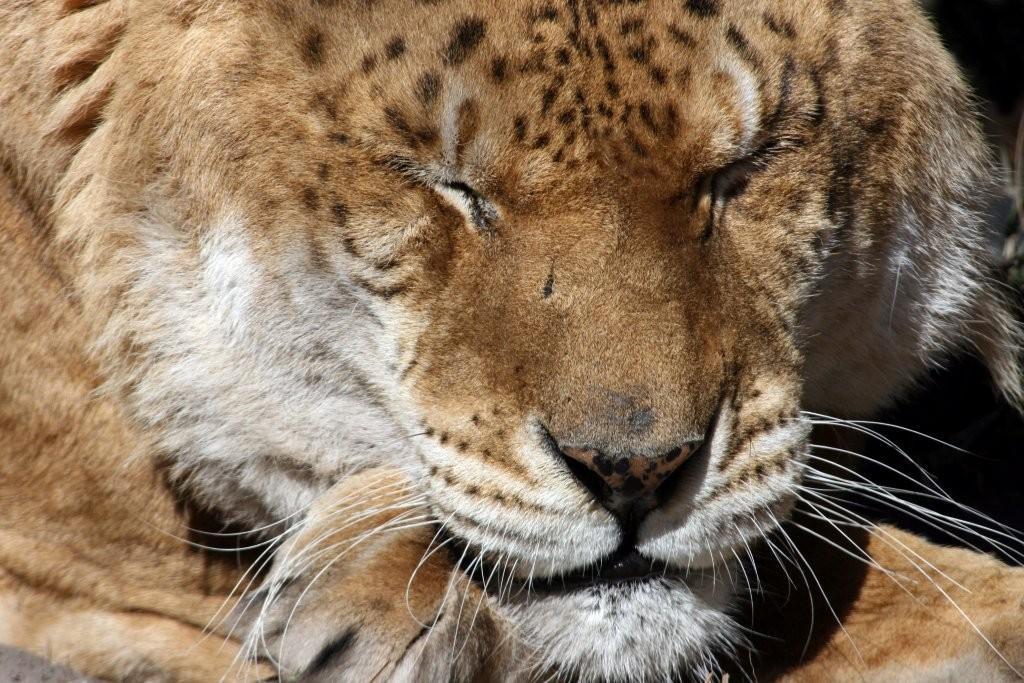 Freckles the liger | Big Cat Rescue