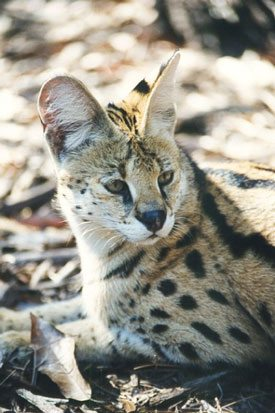 Serval Photo by Big Cat Rescue