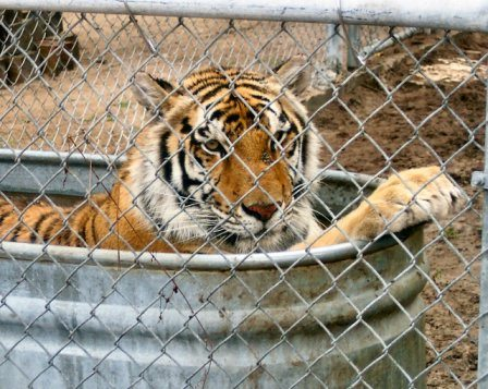 Captive Tiger Not Tiger Haven