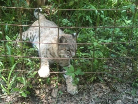 Apache the Bobcat Reaches Out