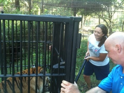 Big Cat Rescuers Release Modnic Tiger to Yard