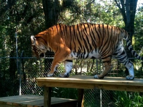 Bengali Tiger on New Platform