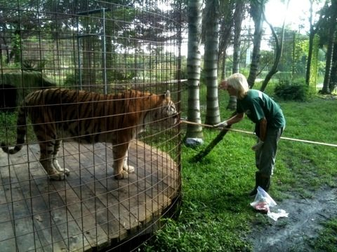 Marie Gives Meds to Modnic Tiger on LONG Operant Stick