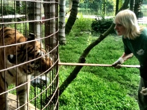 Operant Conditioning Helps Rescuers Care for Ailing Tigers