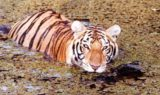 Tiger Swimming at Big Cat Rescue