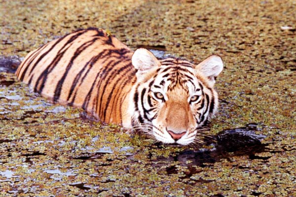 Tiger Swimming at Big Cat Rescue