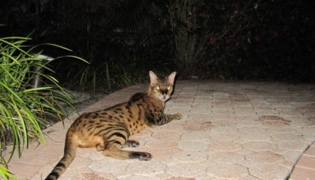 Savannah Cat Kills Fox in Belle Meade Island, Miami, FL