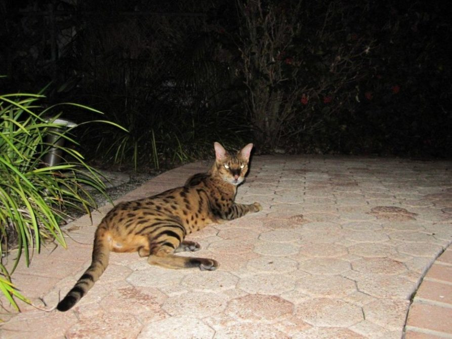 Manx Cats For Adoption In Florida