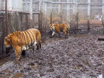 Help get them to a forever home at Big Cat Rescue