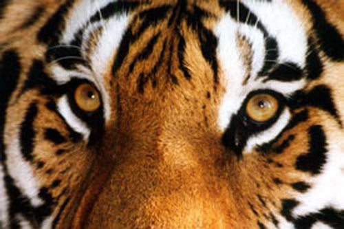 All Tiger Eyes on on the USFWS