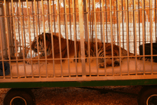 Tiger 13