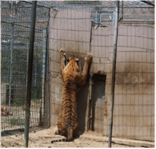 Tigers are kept in deplorable conditions in the U.S.