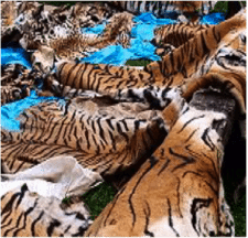 Tigers are killed for the skins, bones and organs