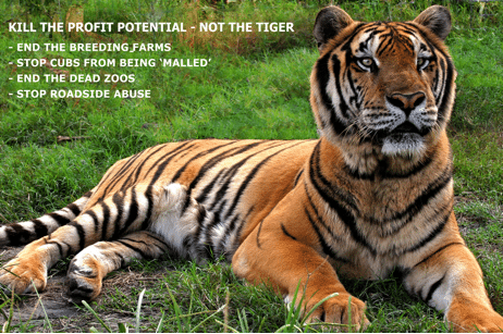 Ban the use of tigers as pets, props and for their parts