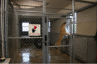 How Most Tigers Live in America