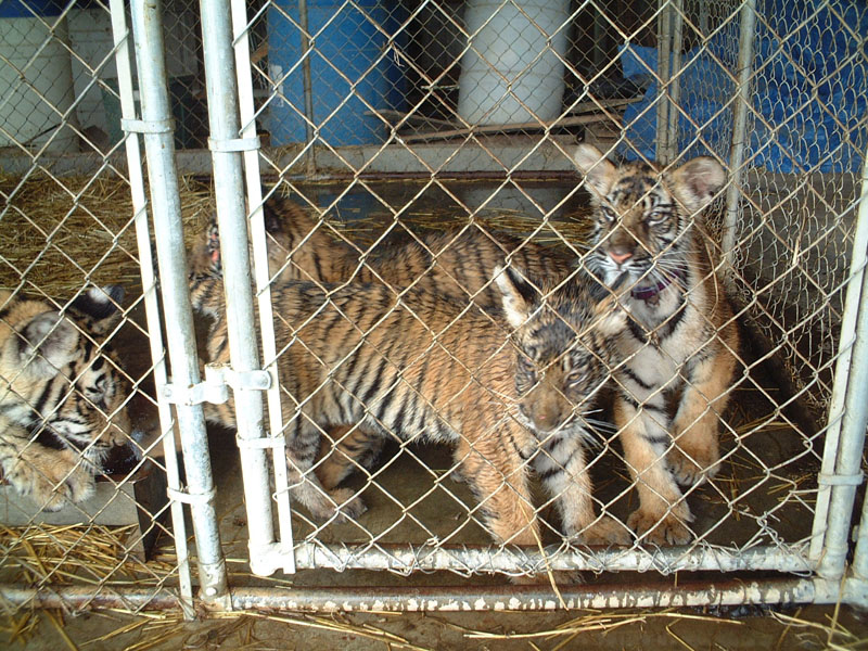Why ZAA Facilities Should Not Be Exempt from Big Cat Ban