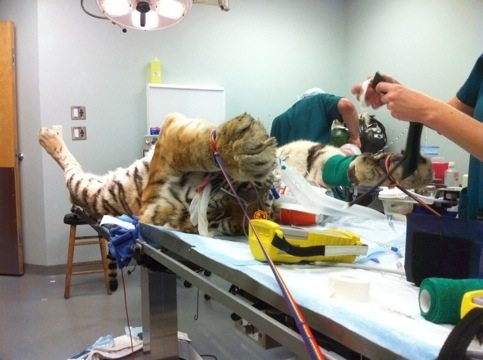 Tiger is Strapped Down and Prepped for Surgery