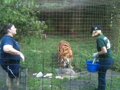 Honey and Chelsea Giving Wormer to Tigers