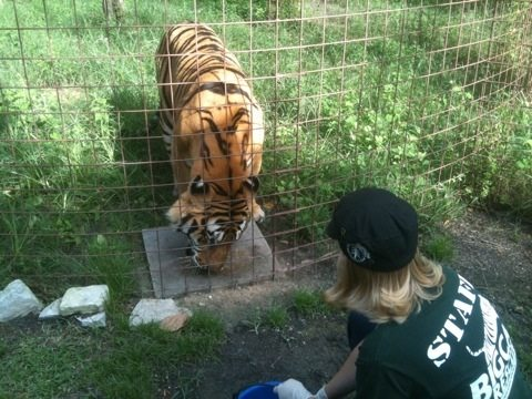 Chelsea Giving Wormer to Tigers