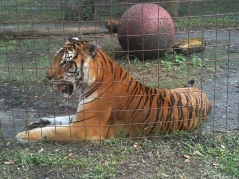 Flavio Tiger Waiting for Wormer