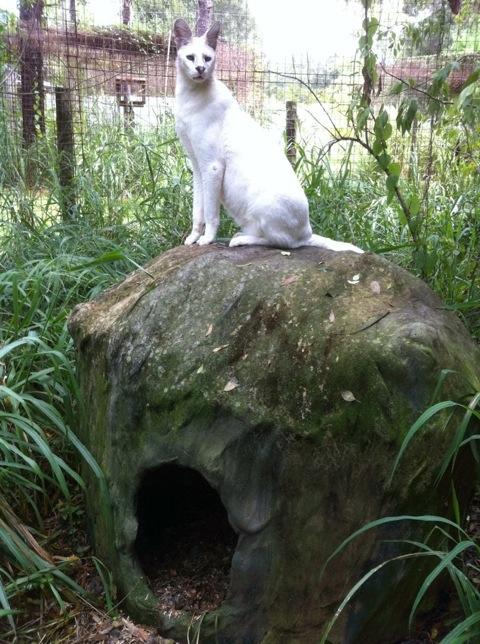 Pharaoh the White Serval on His Den