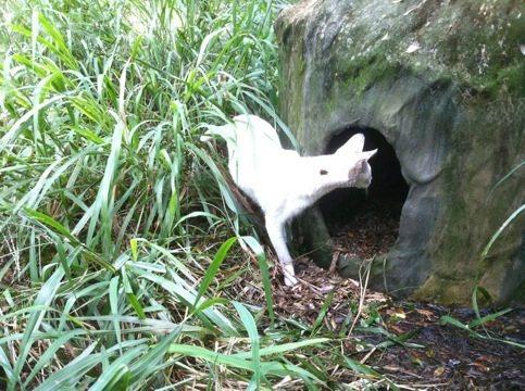 Pharaoh the White Serval Peeks in at New Bedding
