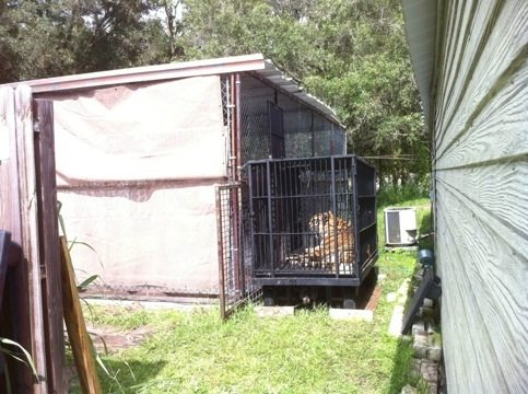 Modnic the tiger moves out of Cat Hospital into Recovery Cage