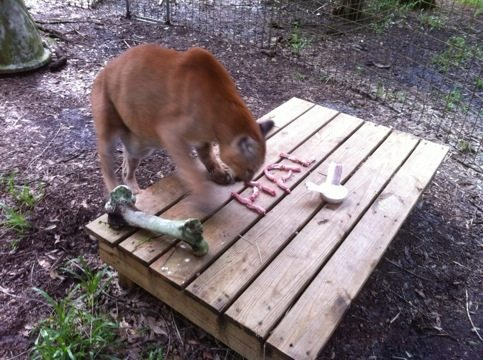 Hallelujah the cougar celebrates his 18th Birthday w/ Friends