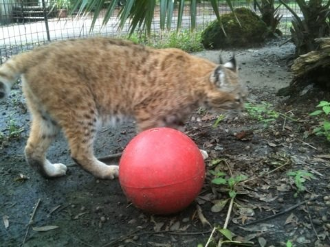 Raindance the bobcat with her red toy ball