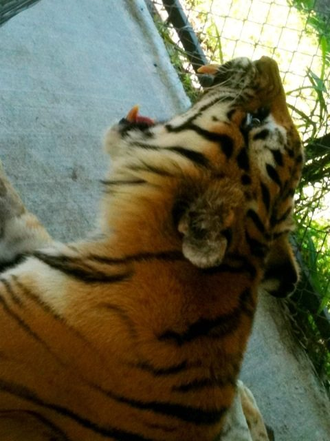 Crazy angle on Modnic the tiger yawning in hospital recovery cage