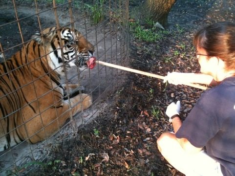 Gale doing operant conditioning with a tiger at Big Cat Rescue