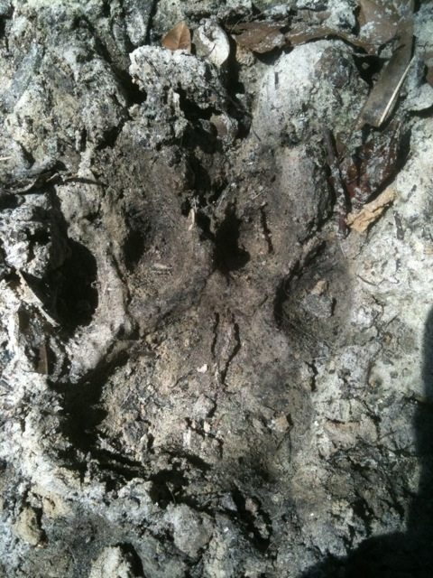 Pie size paw print from Nakita lioness.  She is a HUGE lion!