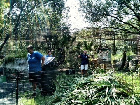 Interns hauling out the palm frond trimmings from Nikita lioness