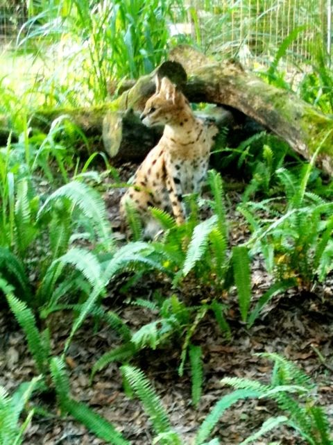 Recent rescue, Kricket Serval on the look out for dinner wagons