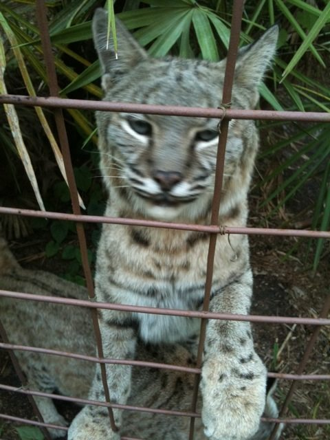 Apache bobcat gives his typical tippy toe greeting