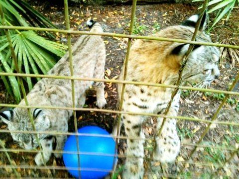 Bobcat Playtime!