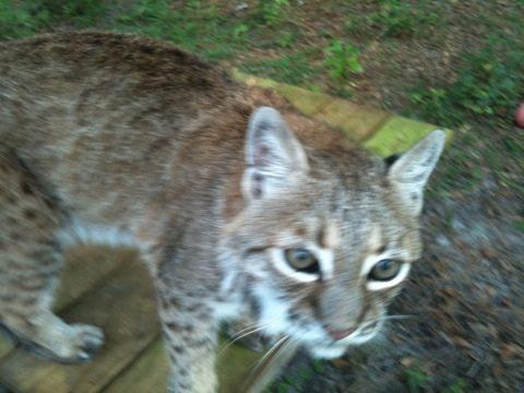 Big Eyed Little Feather bobcat hops up on new platform to get a closer look