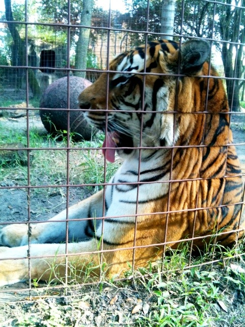 Flavio the retired circus tiger waits for dinner and yawns