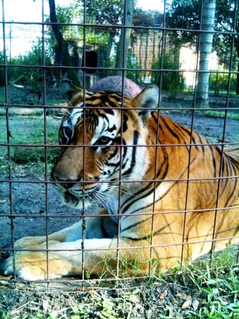 Flavio is looking pretty good for a 22 year old tiger