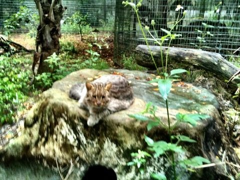 Trick E Leopard Cat growls but lets me snap a quick photo