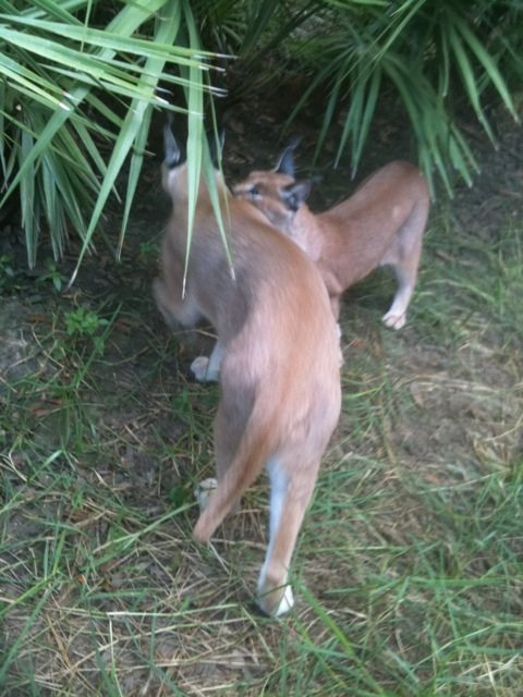 Rusty and Sassy in a Caracal embrace