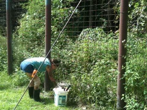 Volunteer Rosie cleaning 3 ac tiger enclosure for Simba and Nikita tigers