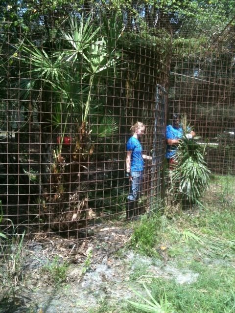 Interns June, Amanda and Marnell pull weeds while prepping tiger cages