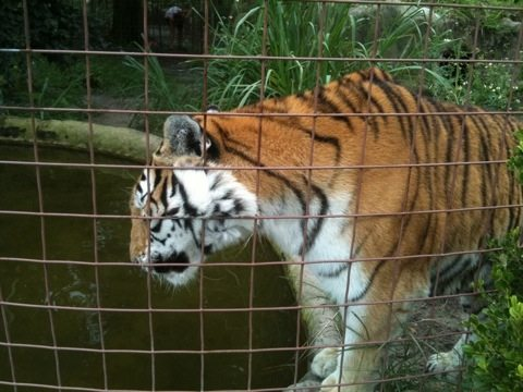 """Tiger says, """"Thank you!"""" for helping save their relatives in the wild"""