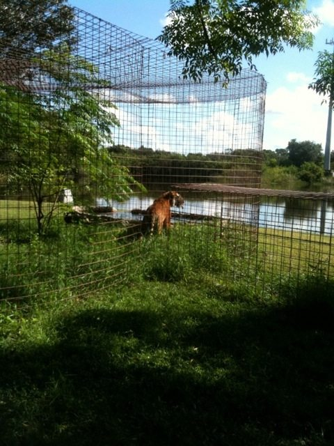 Amanda tiger checks out the pool, lake and then goes to find her fav den