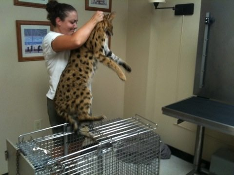 Sedated Bongo serval is lifted up onto scales for exam