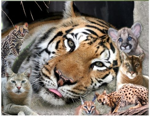 the cats of Big Cat Rescue