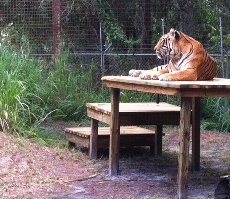 Now at Big Cat Rescue Sept 23 2014