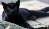 Geoffroy Cat Nico at Big Cat Rescue by Jamie Veronica