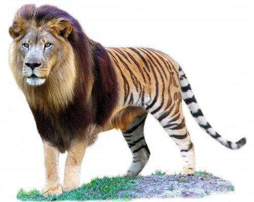 What does a liger look like?